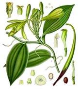 vanilla_planifolia_-_ko%cc%88hler-s_medizinal-pflanzen-278